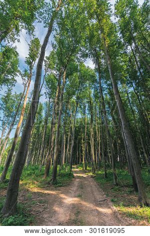 Old Country Road Through Beech Forest.  Wonderful Nature Scenery. Tall Trees With Lush Green Crowns