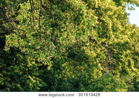 Branches Of Linden Tree In Blossom. Beautiful Summer Nature Scenery. Shallow Depth Of Field
