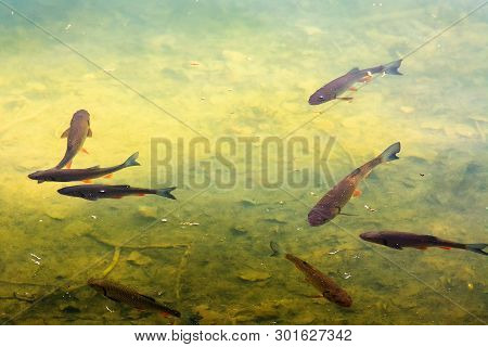 Trout Fish In The Lake. Wonderful Lighting On The Water. Beautiful Nature Background.