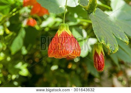 Flower of a room maple (other names -  Indian mallow,  velvetleaf, parlor maple, flowering maple, lat. - abutilon hybridum) poster