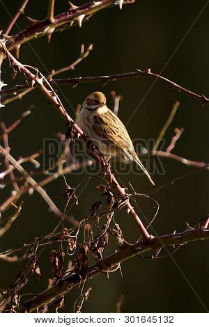 Female Reed Bunting On A Cold Winters Day
