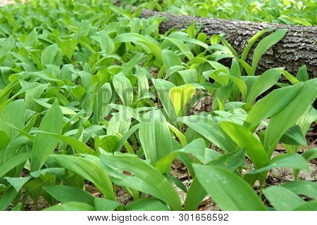Young Green Lily Of The Valley Leaves In The Spring Sunlight