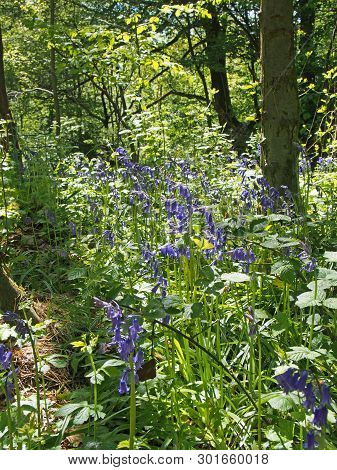 English Bluebells In Bright Sunlit Woodland Surrounded By Forest Trees