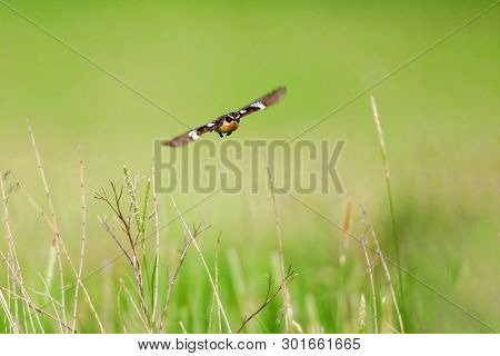 Stonechat. A Small Bird, The Size Of A Robin, Flies In The Summer Among The Endless Fields Of Russia