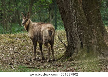 Abruzzo chamois (Rupicapra pyrenaica ornate). Wildlife animal.