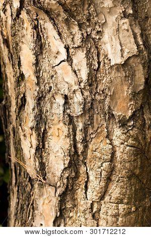 Bark Texture, Center Focus. Close-up Photo Of Tree