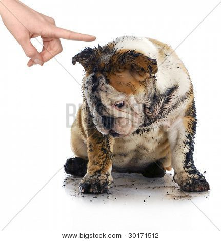 bad dog - dirty sad english bulldog being scolded by wagging finger