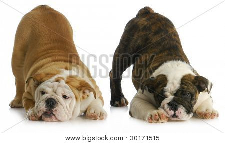 two playful puppies - english bulldogs with their bums in the air
