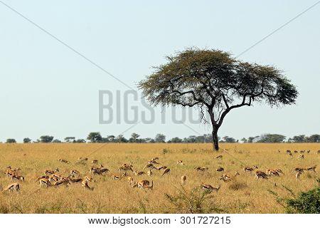 Thomsons Gazelles (eudorcas Thomsonii) On Savannah. Serengeti, Tanzania