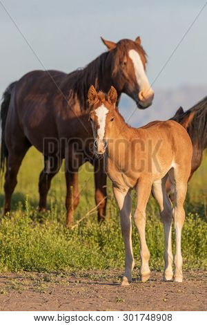 A Cute Wild Horse Foal In The Utah Desert In Spring