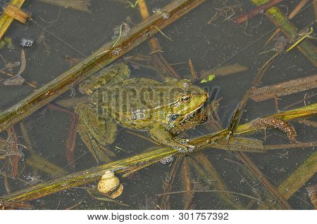 One Big Green Frog Sits In The Water Of A Pond Among Brown Algae