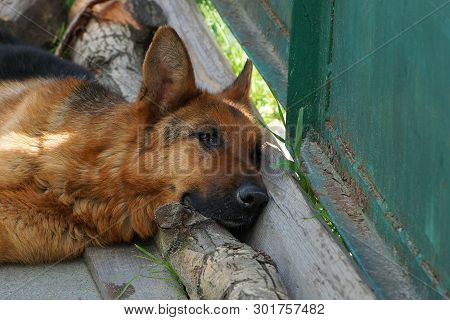 One Brown Shepherd Dog Lying On The Street Near The Green Fence