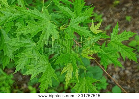 Green Leaves Of A Maple On Tree Branches In The Park