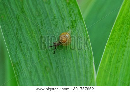 One Little Brown Snail Crawling On The Big Green Leaf Of The Plant
