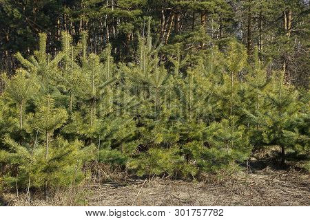 A Row Of Small Green Coniferous Pines In The Dry Grass In The Forest