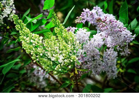 Amazing and unusual bicolor hybrid lilac with white and purple flowers. Nature and its charm. Daylight poster