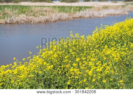 Yellow Flowering Rapeseed Growing At The Bank Of A Stream In A Dutch Rural Landscape. It Is Springti