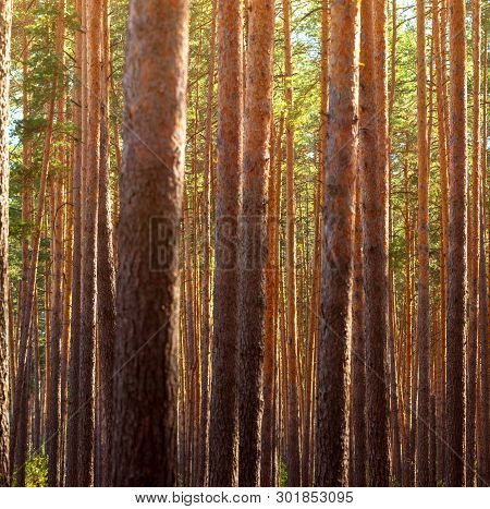 Summer Dense Pine Forest. Sunlight Through The Trees. Amazing Woodland Landscape. Heat Weather.