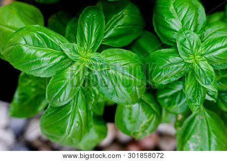 Sweet Basil Leaves In Herbs Garden. Natural Food Background