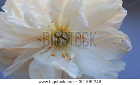 White Fluffy Fading Peony, Romantic Decadence Concept. Beautiful Delicate Flower, Blooming