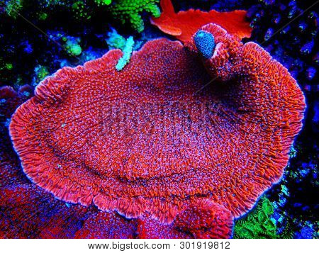 Montipora Candy Cap Sps Coral  - (montipora Capricornis)
