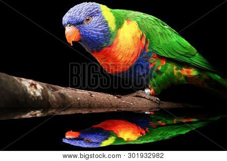 Parrot Lorikeet On The Brunch With Reflection. Parrot With Reflection On The Water And Black Backgro