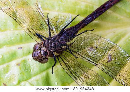 Dead Dragonfly With Broken Legs Lying Upside Down On A Leaf
