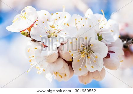 Branch Of The Cherry Tree In Bloom Against The Background Of The Blue Sky. White Petals Flowers Clos