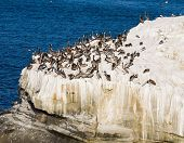 Large number of pelicans on white rocks next tot eh Pacific Ocean in La Jolla California poster