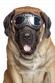 English Mastiff dog in Vintage Motorcycle Goggles. Portrait on a white background poster