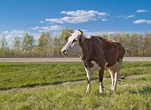 cow portrait over green grass and blue sky landscape poster