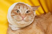 cat ear ache with bandage at home poster