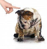 bad dog - dirty sad english bulldog being scolded by wagging finger poster