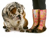 dirty dog and muddy boots - english bulldog sitting beside woman wearing rubber boots on white background poster