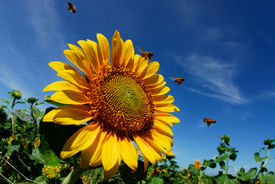 Beautiful sunflowers with blue sky and sunburst