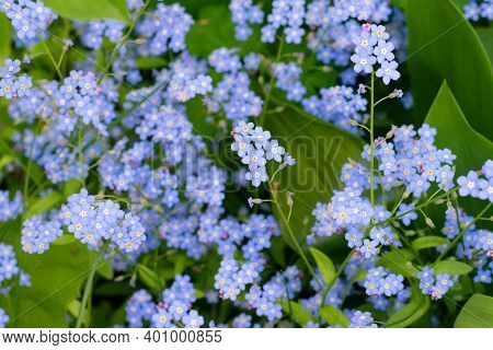 Lots Of Small Blue Forest Forget-me-not Flowers In Flowerbed.uncultivated Wild Flowers In Wood