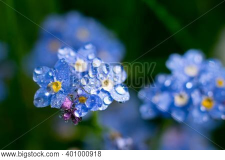 Macro Photo Of Fragile Forget-me-not Flower With Waterdrops On Petals.summer Floral Background