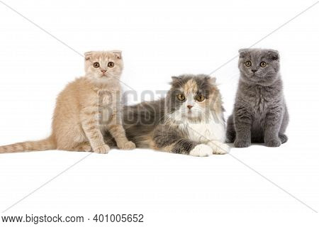 Blue Cream And White Highland Fold Female With 2 Months Old Kittens, Cream Scottish Fold And Blue Sc
