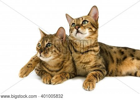 Brown Spotted Tabby And Brown Marbled Tabby Bengal Domestic Cat, Adult Laying Against White Backgrou