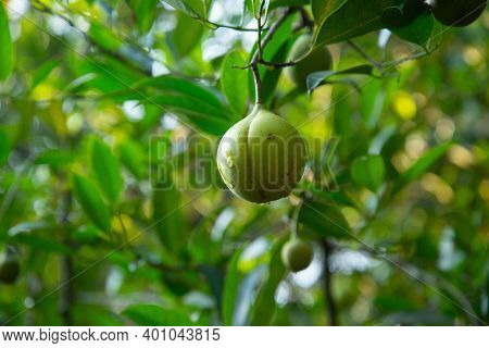 Yellow Nutmeg Fruit Growing On A Tree With Water Droplet Running Over Surface Of Skin, Nature Photog