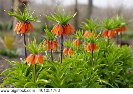 Blooming Crown Imperial In Spring Garden. Crown Imperial Fritillary Fritillaria Imperialis Flowers.