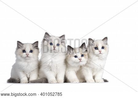 Group Of 4 Ragdoll Cat Kittens, Sitting Beside Each Other On Perfect Row. All Looking Towards Camera