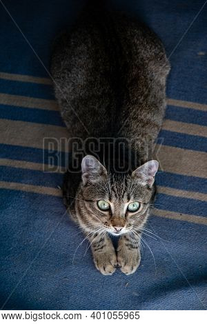 Portrait Of Young Tabby Cat With Emerald Green Eyes Looking Up. Shorthaired Grey Cat With Long White