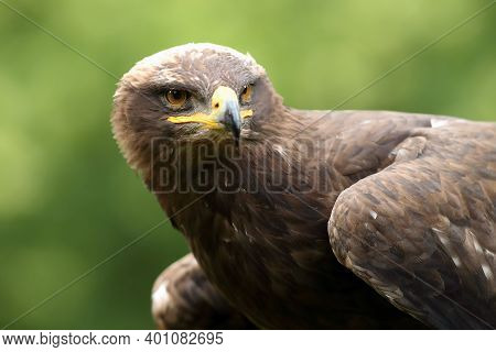 The Steppe Eagle (aquila Nipalensis) Portrait. Portrait Of A Big Eagle With A Green Background.