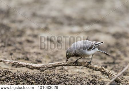 Young White Wagtail, Motacilla Alba, Sitting On A Branch Near A River. Portrait Of A Young Common So