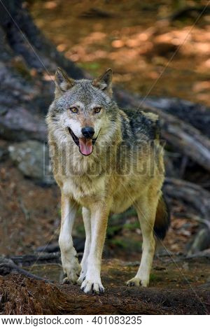 The Grey Wolf Or Gray Wolf (canis Lupus) Standing In The Forest. A Large Wolf With Its Tongue Sticki