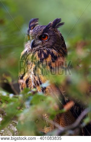 The Portrait Of A Eurasian Eagle-owl (bubo Bubo) With A Green And Brown Background.portrait Of A Lar