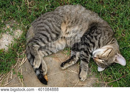 Cute Grey Tabby Cat With Closed Eyes Curl Up Napping Outdoors With Furry Belly Up. Young Cat With Lo