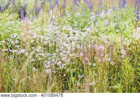 Summer field with daisies and grass