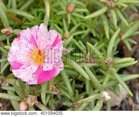 A Pink An White Mesembryanthemums Know As A Vygie In South Africa